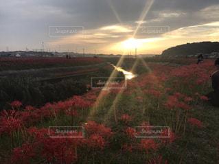 花,秋,夕日,散歩,彼岸花