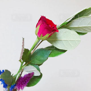 花の写真・画像素材[1572710]