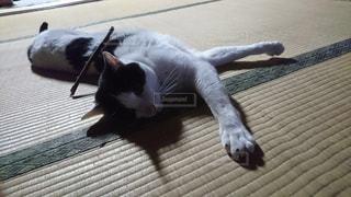 床に横になっている猫の写真・画像素材[1621520]