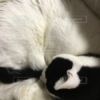 猫,白,ホワイト