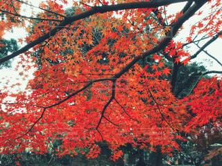 京都の紅葉の写真・画像素材[1604636]