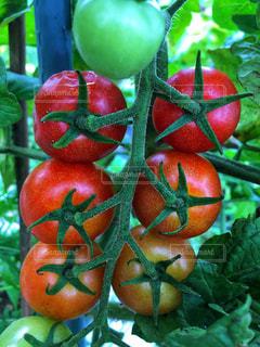 有機栽培のトマトの写真・画像素材[2343016]