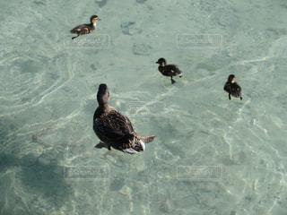 水鳥の親子の写真・画像素材[2365839]