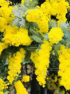 花,木,黄色,葉,ミモザ,大月駅