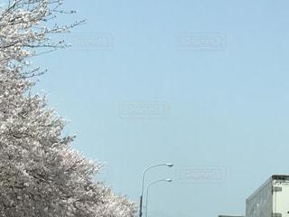 桜並木の写真・画像素材[1871440]