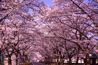 風景,花,春,桜,屋外,景色,ピンク色,ブロッサム,桜トンネル