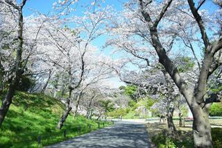 風景,花,春,桜,屋外,景色,樹木,お花見,桜トンネル