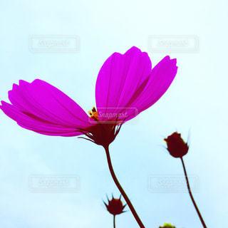 秋桜の写真・画像素材[1500836]