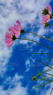 大きな紫色の花は、澄んだ青い空の写真・画像素材[1517338]