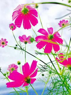 秋桜pinkの写真・画像素材[1797860]