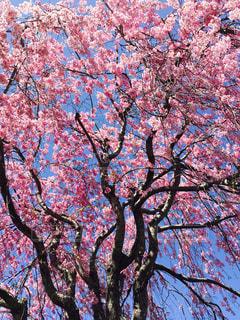 近所のしだれ桜の写真・画像素材[1797894]