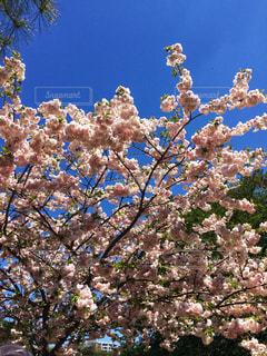 花,春,桜,木,屋外,ピンク,青空,花見,鮮やか,満開,樹木