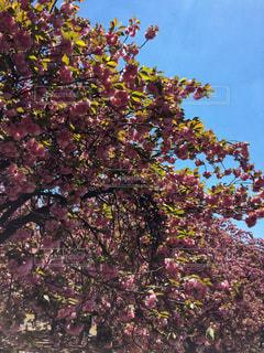 花,春,桜,木,屋外,ピンク,青空,葉,花見,満開,樹木,葉桜