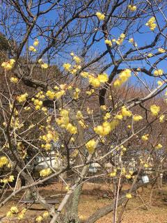 春,黄色,老梅