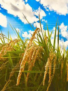 空,秋,屋外,雲,青空,稲穂,元気,田んぼ,昼,稲,米,天気,収穫,秋空,白い雲,実り,黄金色,流れる雲,米どころ