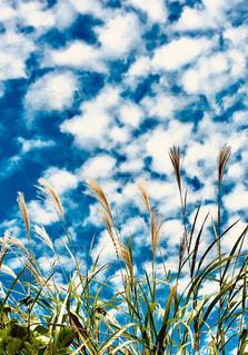 空,公園,秋,屋外,緑,白,青空,青,草,ススキ,昼,Sky,うろこ雲,秋晴れ,天気,秋空,白い雲,草木,中秋,すすき,台風前