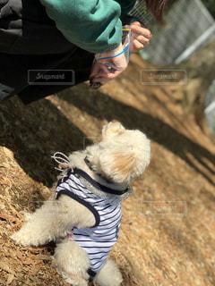犬,トイプードル