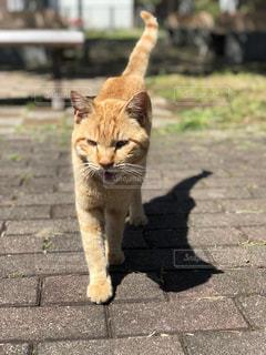 地域猫コトラの散歩の写真・画像素材[2274766]