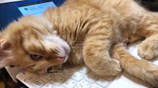 ラップトップコンピュータのキーボードに横たわる猫の写真・画像素材[2292756]