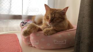椅子に座っているオレンジと白の猫の写真・画像素材[2293586]