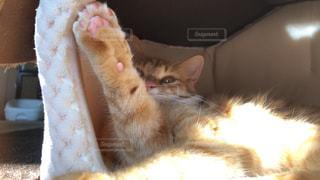 口を開けてオレンジと白の猫の写真・画像素材[2293598]
