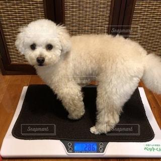 テーブルの上に座っている小さな白い犬の写真・画像素材[2342471]