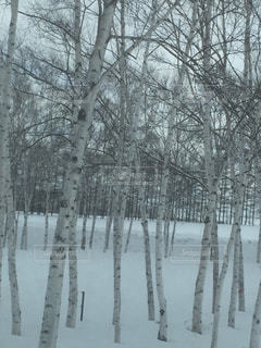 白樺,ホワイト,白い木,シラカバ