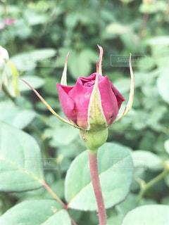 花,バラ,つぼみ,未来,夢,ポジティブ,希望,華,将来,可能性