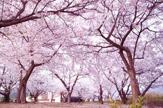 桜の写真・画像素材[1874562]