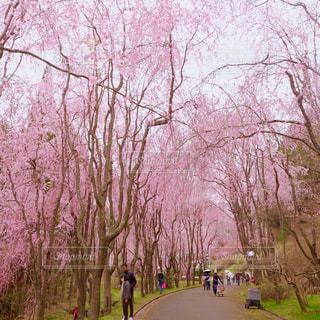 桜のトンネルの写真・画像素材[1874565]