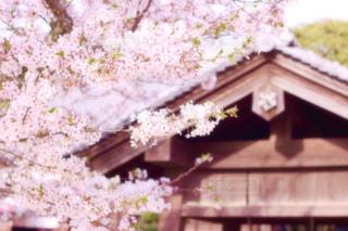 お城の桜の写真・画像素材[1874566]