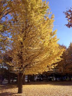 空,公園,秋,紅葉,イチョウ,銀杏,秋空