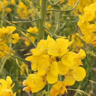 花,春,屋外,黄色,菜の花,インスタ映え