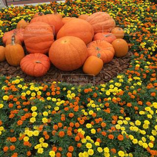 秋,ハロウィン,かぼちゃ
