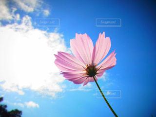 空,花,コスモス