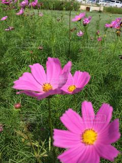 フィールドにピンクの花の写真・画像素材[1507741]