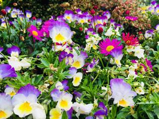 花畑の写真・画像素材[1560601]