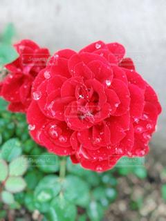 朝露の薔薇の写真・画像素材[2642510]