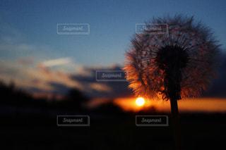 風景,空,花,秋,夕日,屋外,雲,夕焼け,黒,景色,たんぽぽ,闇,綿毛,草木