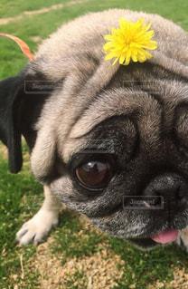 花,パグ,黄色,たんぽぽ,イエロー,幸せの黄色