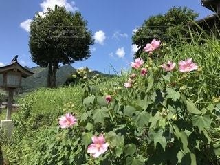風景,空,花,屋外,緑,雲,青空,青,ピンクの花,阿蘇,秋空