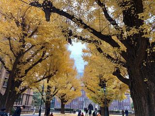 風景,秋空,黄金,銀杏並木