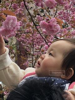 自然,桜,ピンク,子供,お花見,人物,人,赤ちゃん,八重桜,1歳,イベント・行事