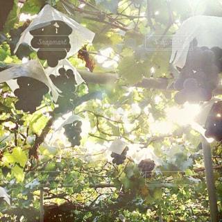 秋,太陽,紫,美味しそう,ぶどう狩り,巨峰,食欲の秋