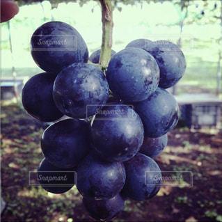 秋,紫,美味しそう,フルーツ,ぶどう狩り,巨峰,食欲の秋,たわわに実る
