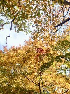 自然,空,秋,紅葉,木,緑,枝,黄色,紅,樹木,陽射し,秋空