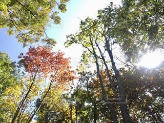 自然,空,秋,紅葉,木,緑,枝,黄色,木漏れ日,紅,樹木,陽射し,秋空