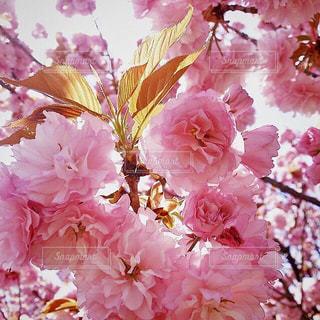 お気に入りの桜の写真です🌸の写真・画像素材[1805250]
