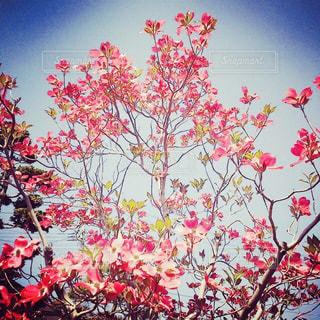 ピンクのハナミズキの写真・画像素材[1805584]