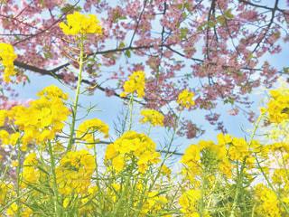 空,花,春,木,ピンク,緑,黄色,菜の花,イエロー,グリーン,河津桜,pink,3月,yellow